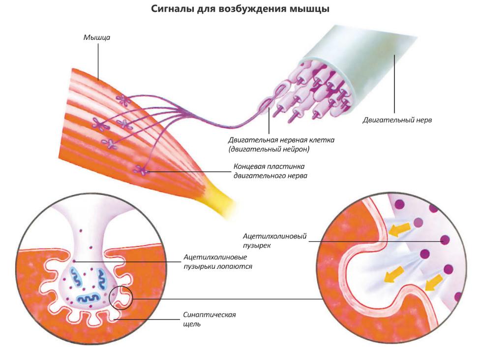 глицин расслабляет мышцы