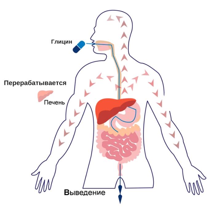 фармакокинетика глицина