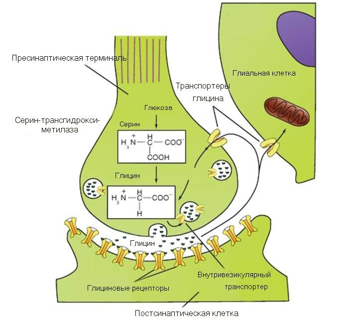 тормозные рецепторы глицина