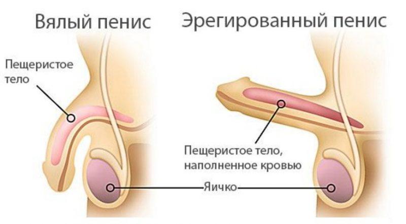 эректильный пенис